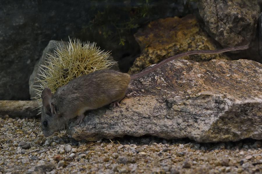 Canyon Mouse - Peromyscus crinitus