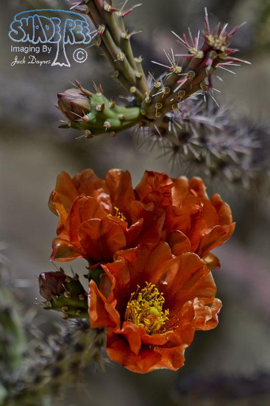 Cholla Cactus Flower - Unknown