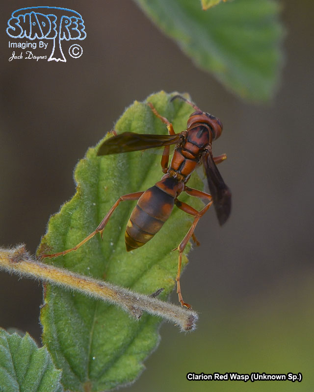 Clarion Red Wasp - Unknown Sp.