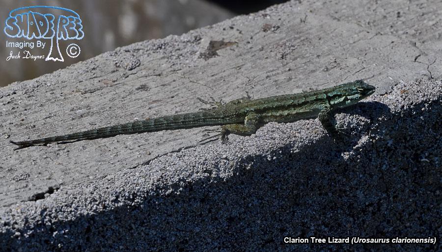 Clarion Tree Lizard - Urosaurus clarionensis