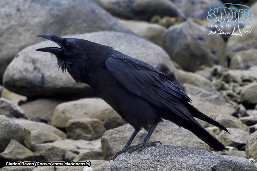 Clarion Raven - Corvus corax clarionensis