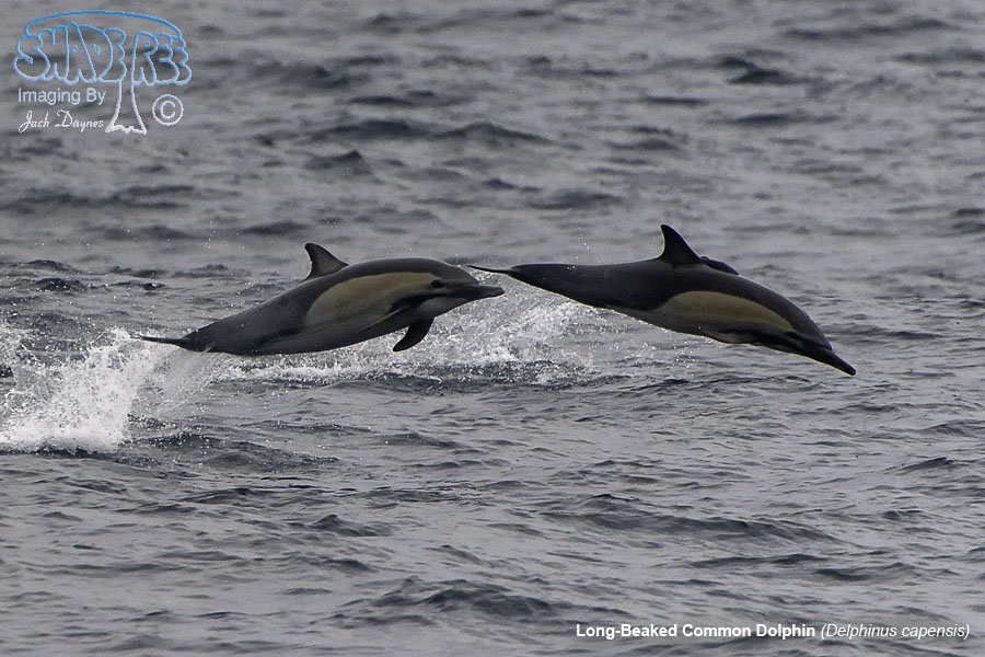 Long-Beaked Common Dolphin - Delphinus capensis