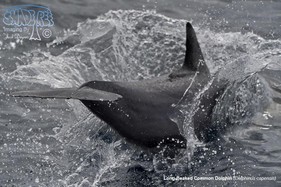 Long-Beaked Common Dolphin - Delphinus capensis