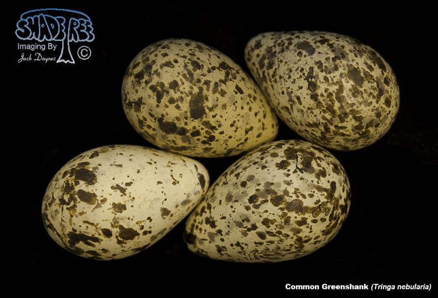 Common Greenshank - Tringa nebularia