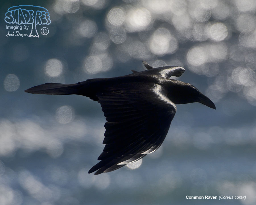 Common Raven - Corvus corax