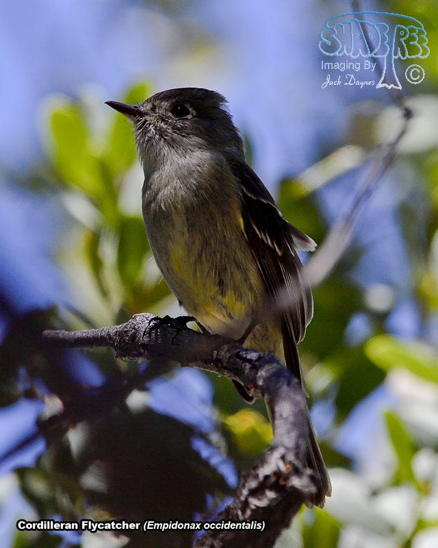 Cordilleran Flycatcher - Empidonax occidentalis