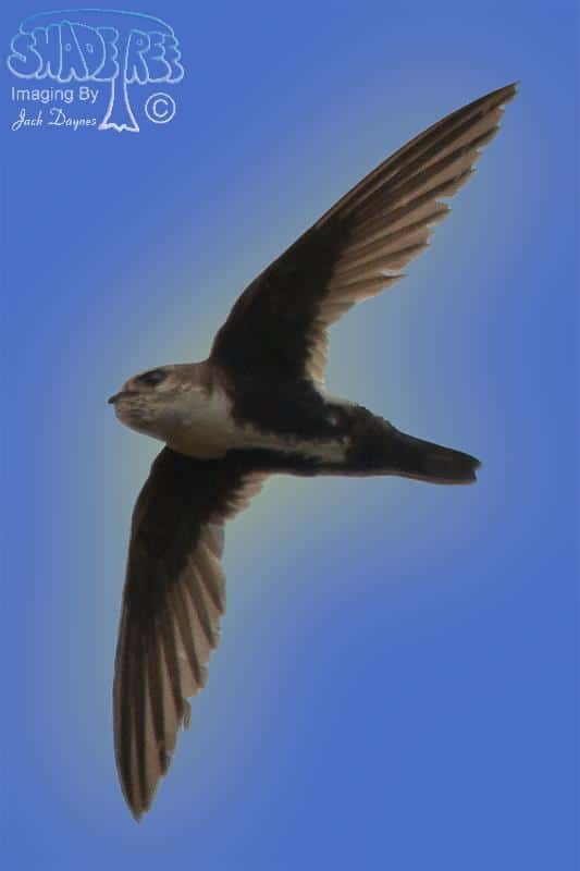 White-Throated Swift - Aeronautes saxatalis