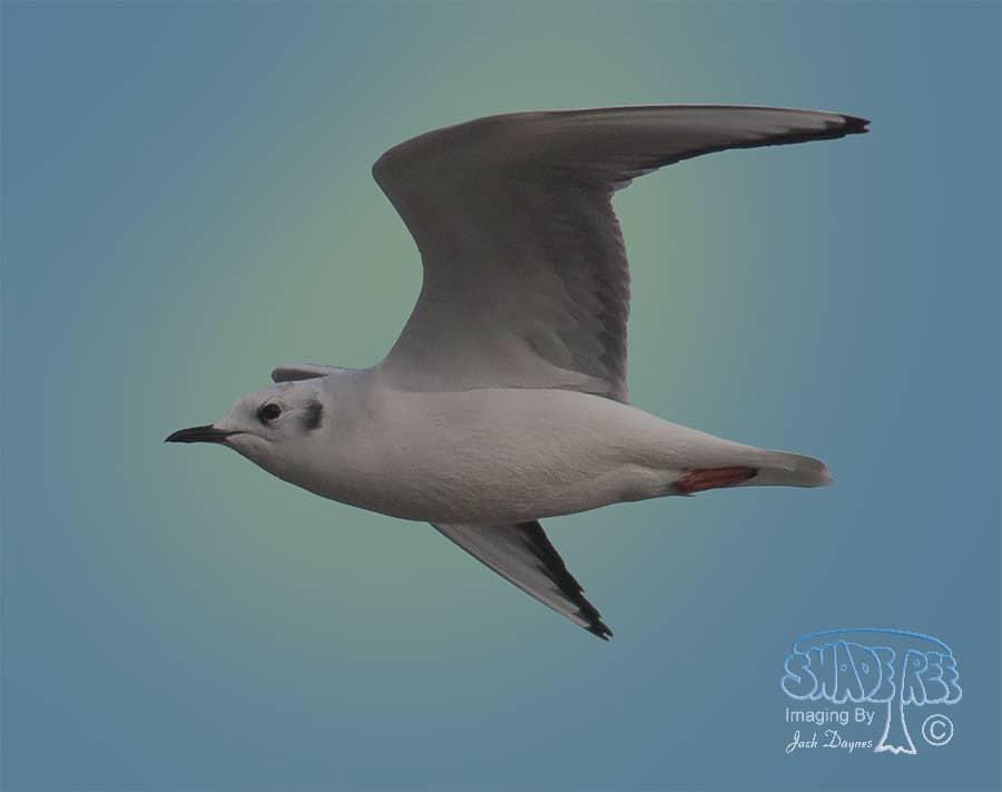 Bonaparte's Gull - Larus argentatus