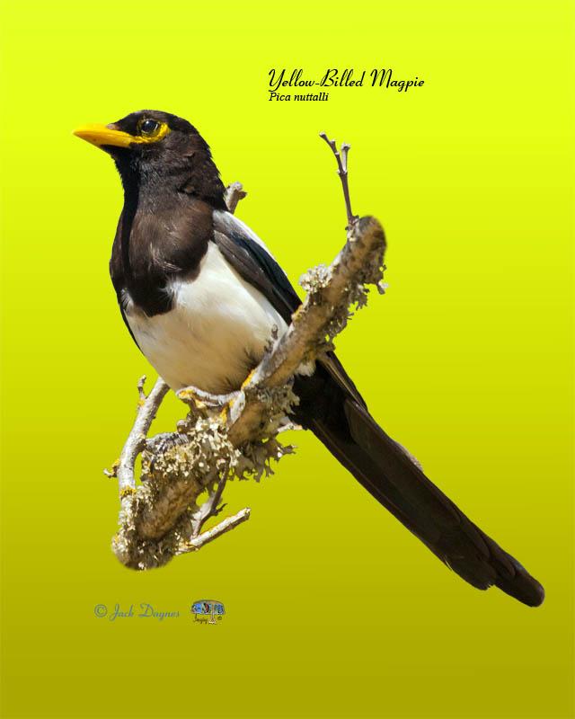 Yellow-Billed Magpie - Pica nuttalli