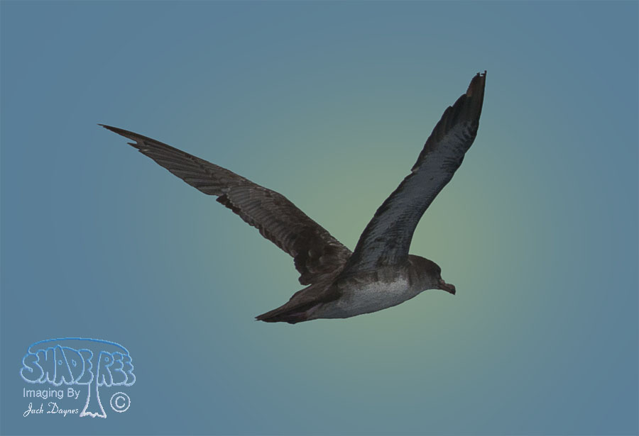 Pink-Footed Shearwater - Puffinus creatopus