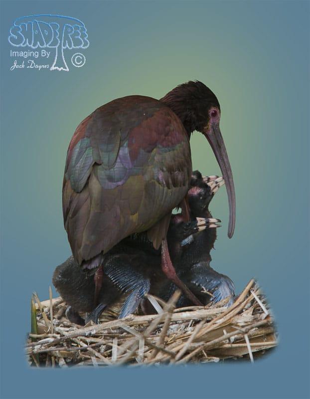 White-faced Ibis - Plegadis chihi