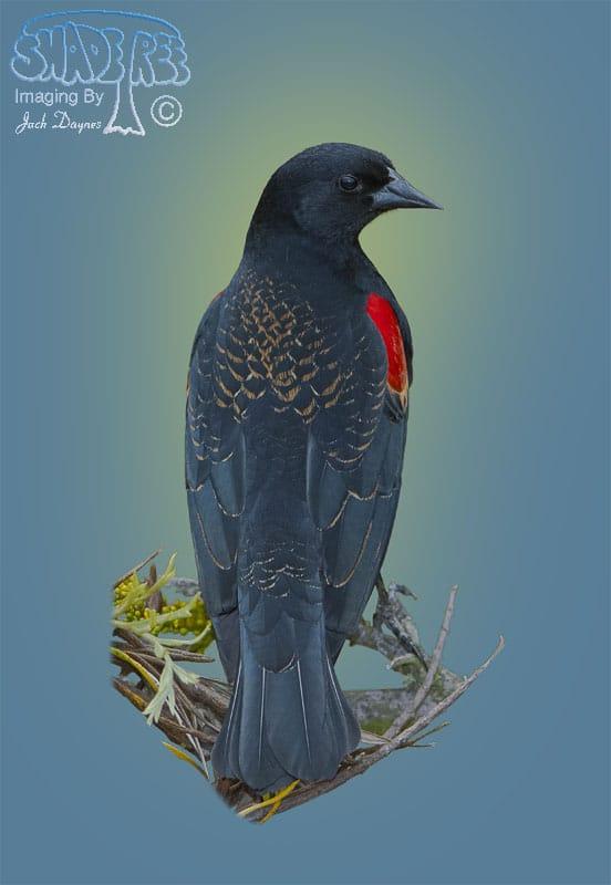 Red-winged Blackbird - Agelaius phoeniceus