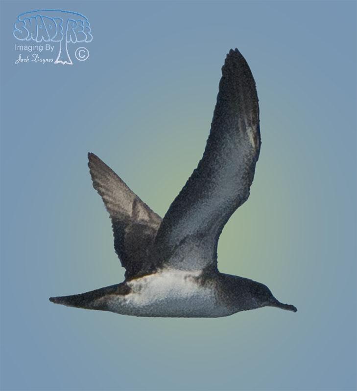 Black-Vented Shearwater - Puffinus opisthomelas