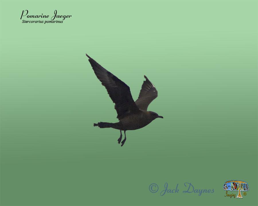 Pomarine Jaeger - Stercorarius pomarinus