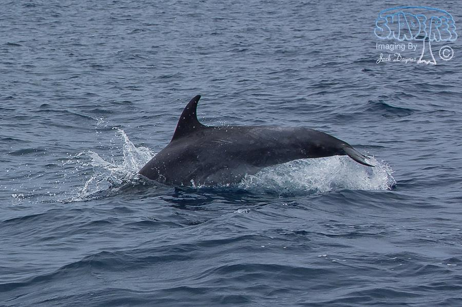 Common Bottlenose Dolphin - Tursiops truncatus