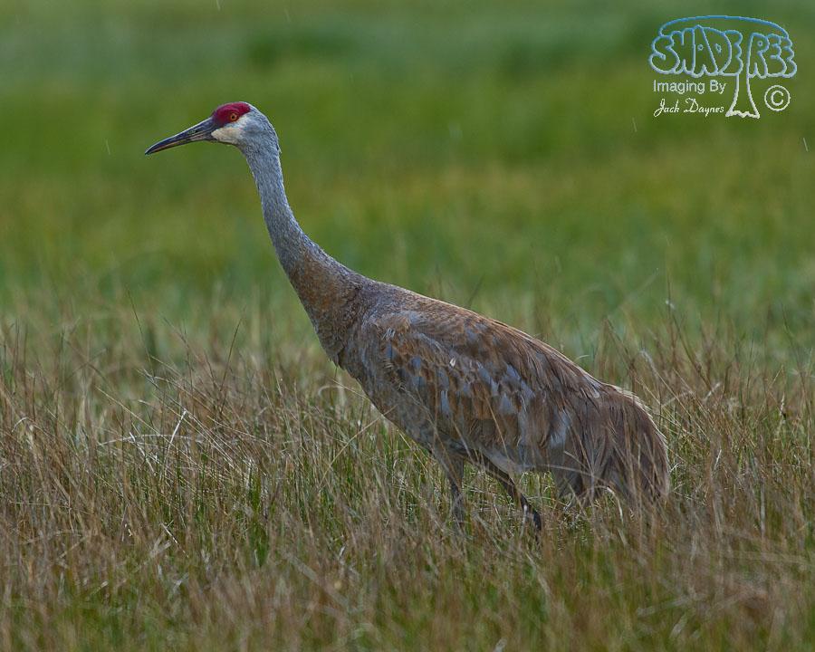 Sandhill Crane - Grus canadensis