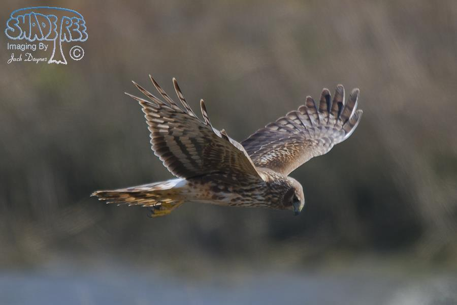 Northern Harrier - Circus cyaneus