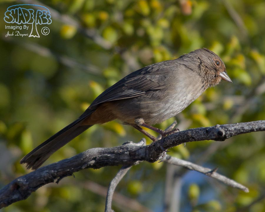 California Towhee - Melozone crissalis