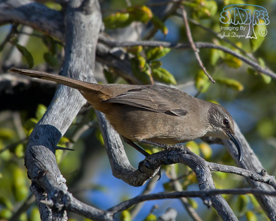California Thrasher - Toxostoma redivivum