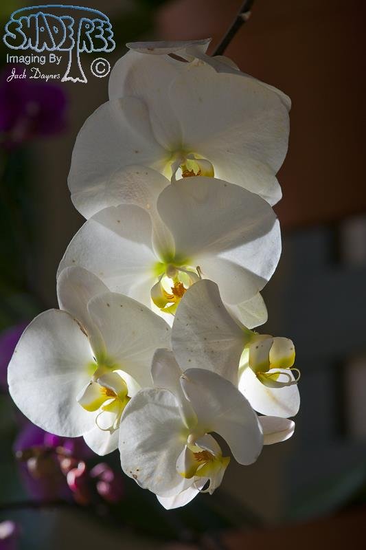 Orchid - Unknown