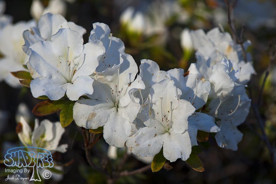 White Azalea - Rhododendron sp.