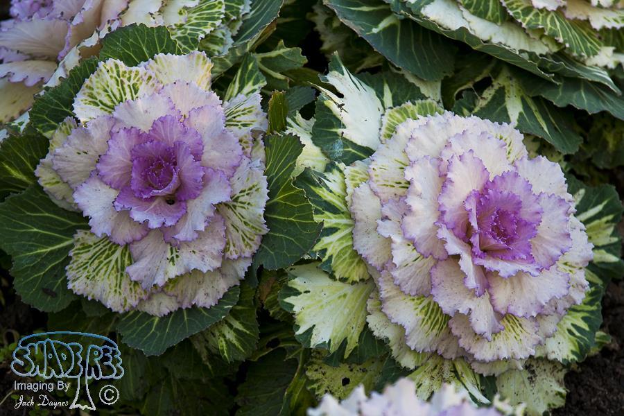 Ornamental Cabbage - Unknown