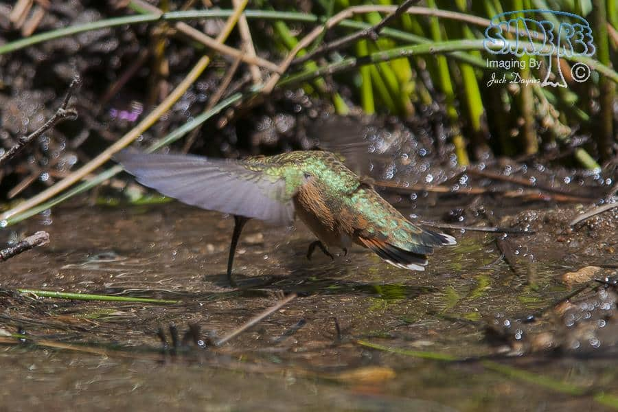 Allen's Hummingbird - Selasphorus sasin