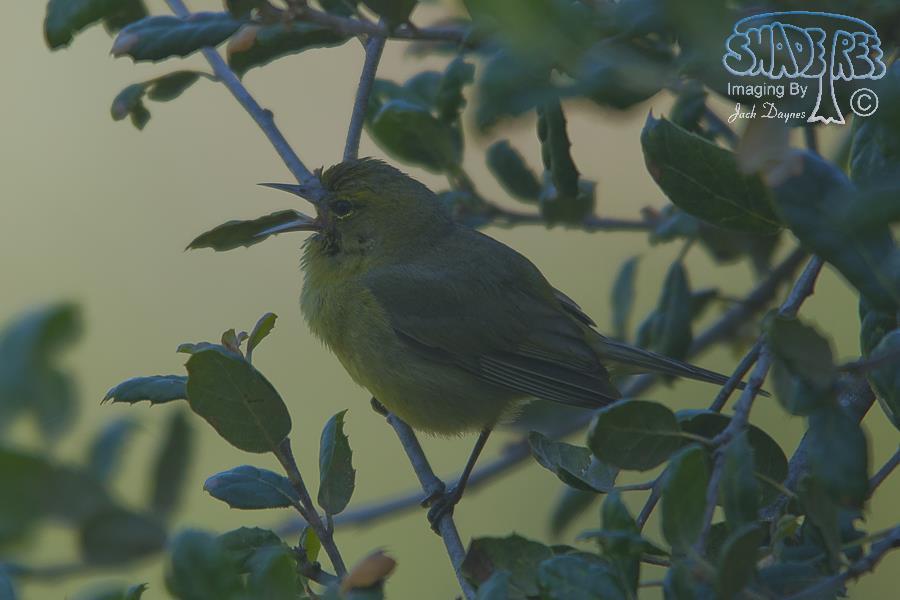 Orange-Crowned Warbler - Poway. San Diego County, California.