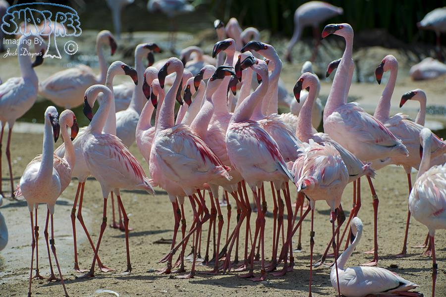 Lesser Flamingo - Phoenicopterus minor