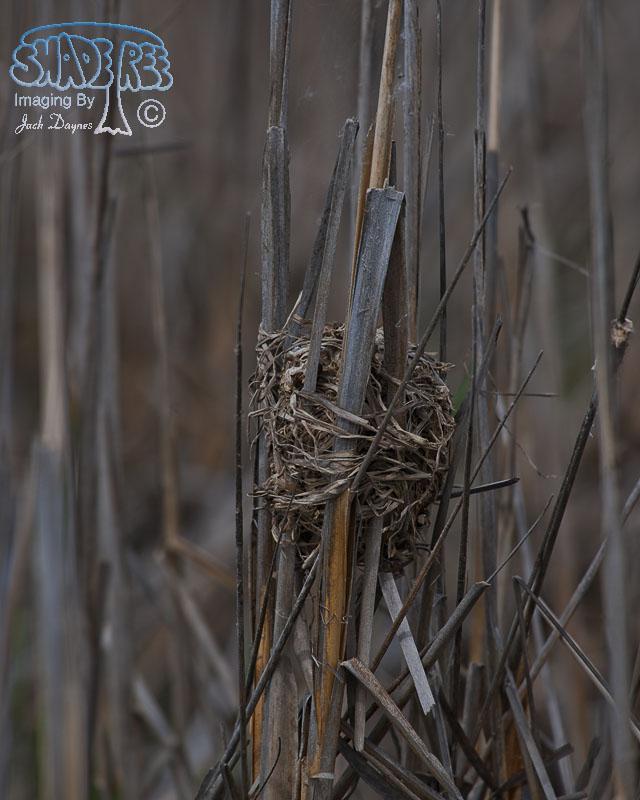 Marsh Wren Nest - Cistothorus palustris