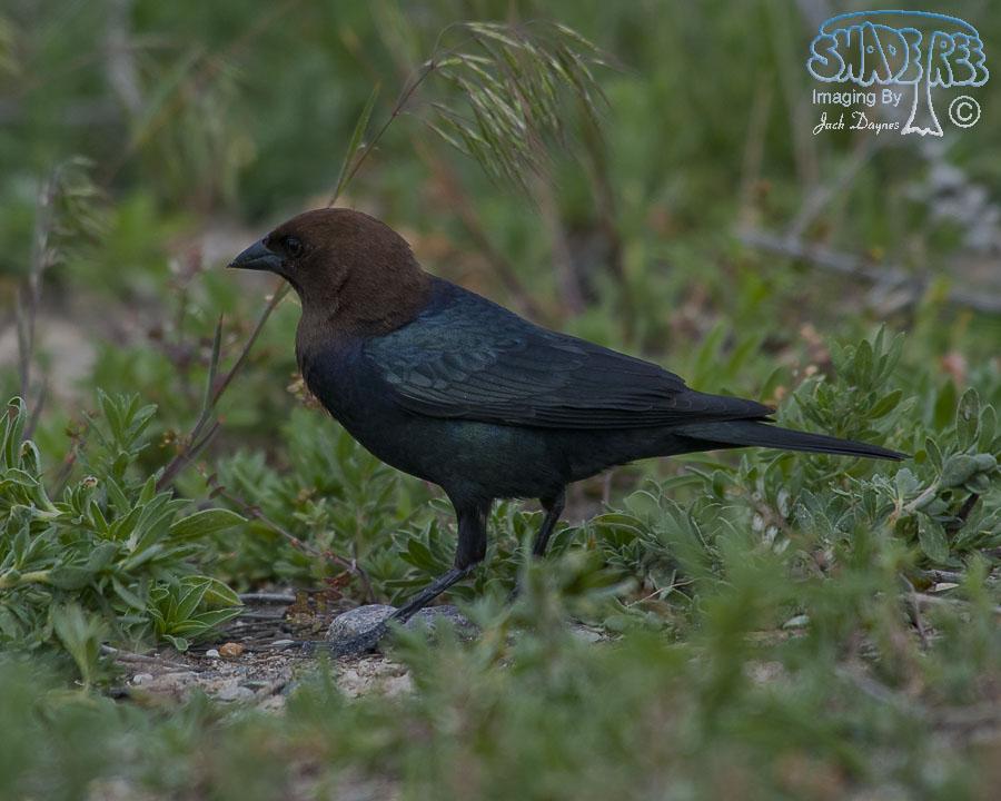 Brown-Headed Cowbird - Molothrus ater