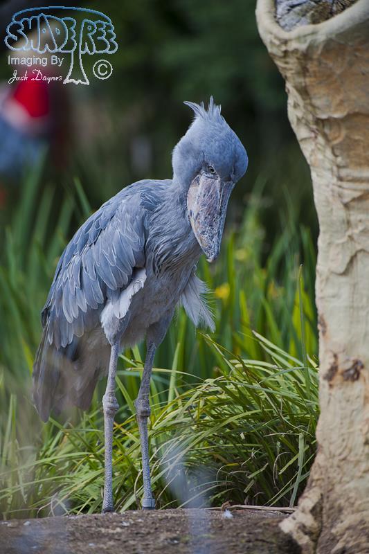 Shoe-Billed Stork - Balaeniceps rex