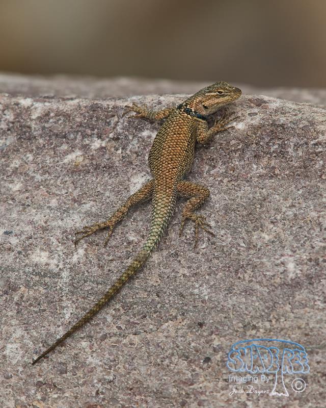 Desert Spiny Lizard - Sceloporus magister