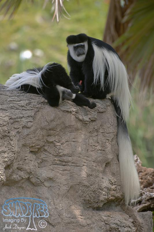 Mantled Guereza - Colobus guereza