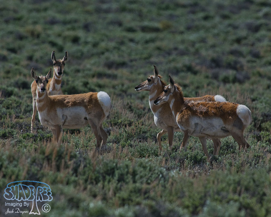 Pronghorn Antelope - Antilocapra americana