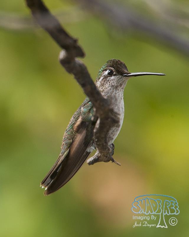 Rivoli's Hummingbird - Eugenes fulgens
