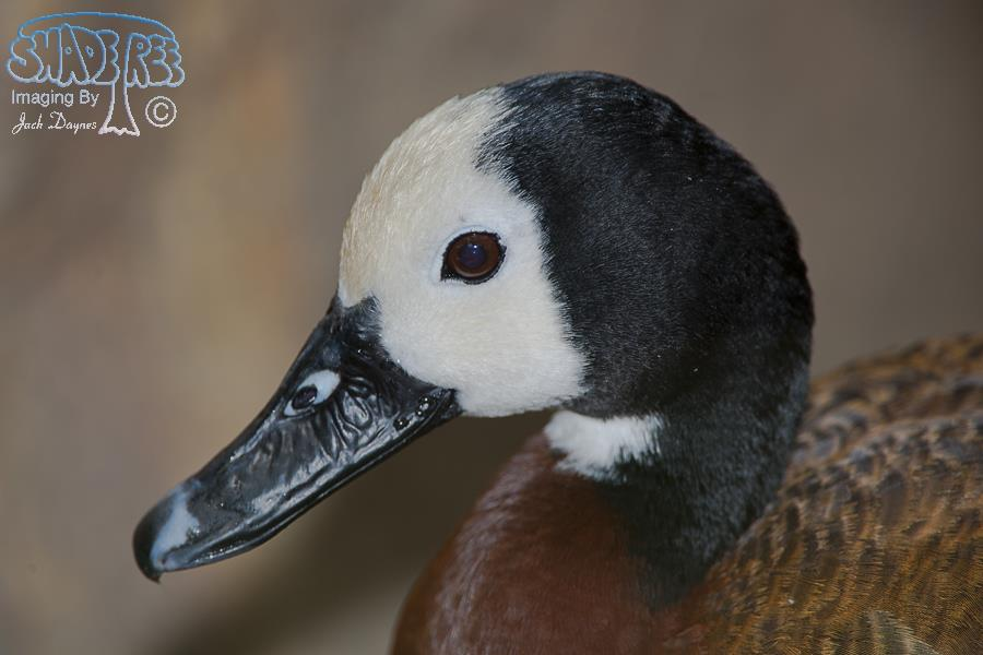 White-faced Whistling Duck - Dendrocygna viduata