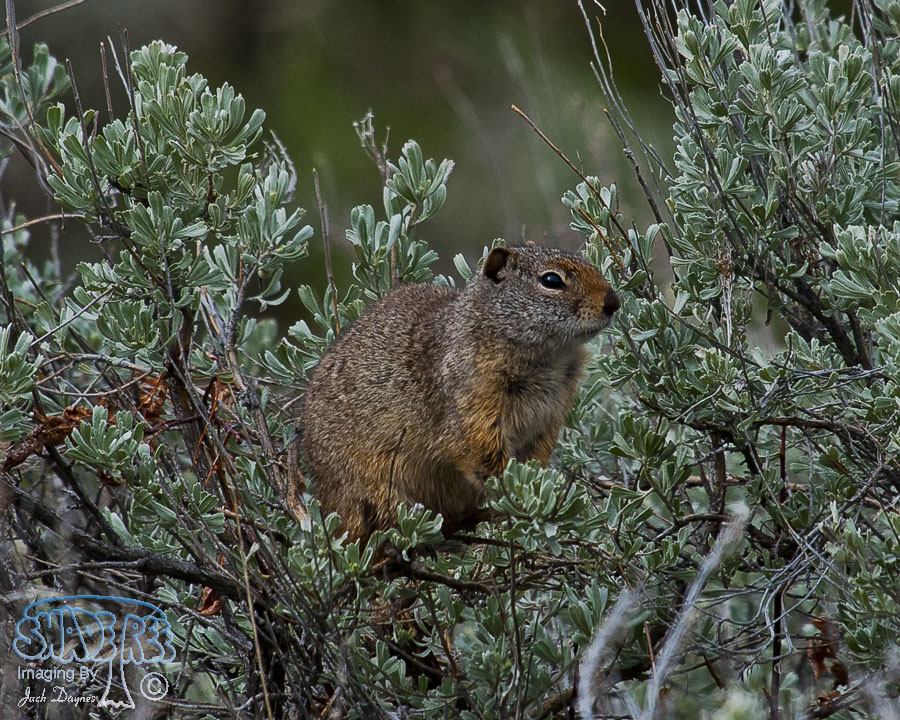 Wyoming Ground Squirrel - Urocitellus elegans