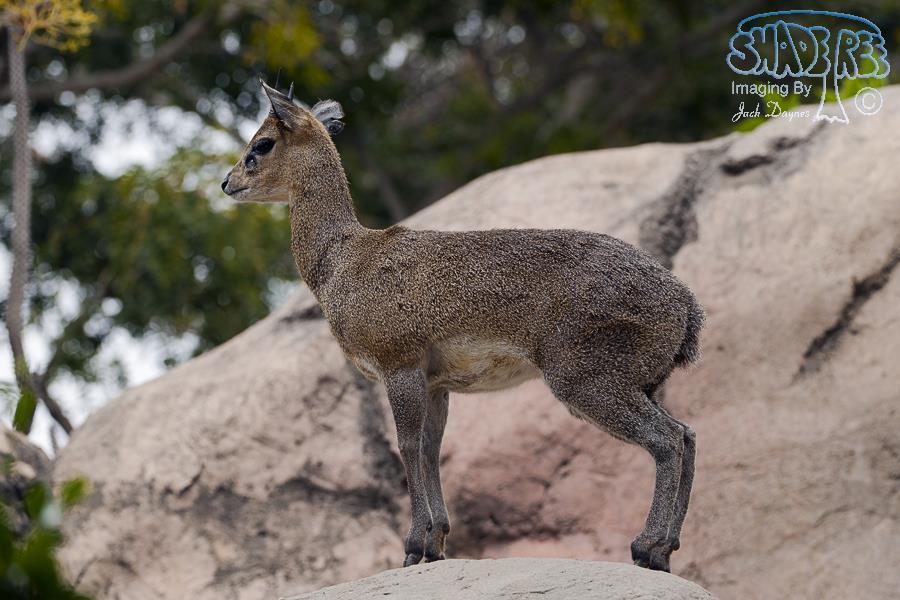 Klipspringer - Oreotragus oreotragus