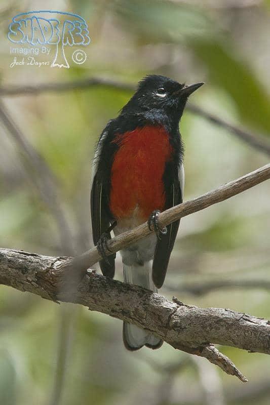 Painted Redstart - Myioborus pictus