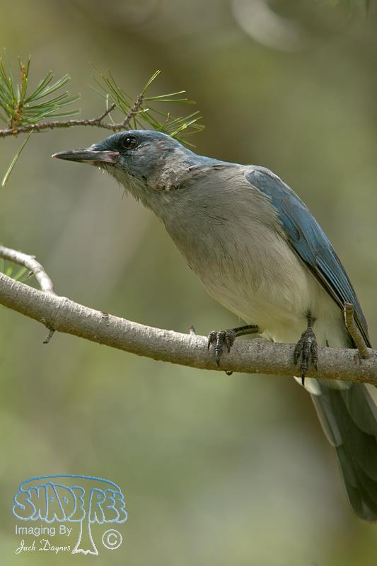 Mexican Jay - Aphelocoma ultramarina