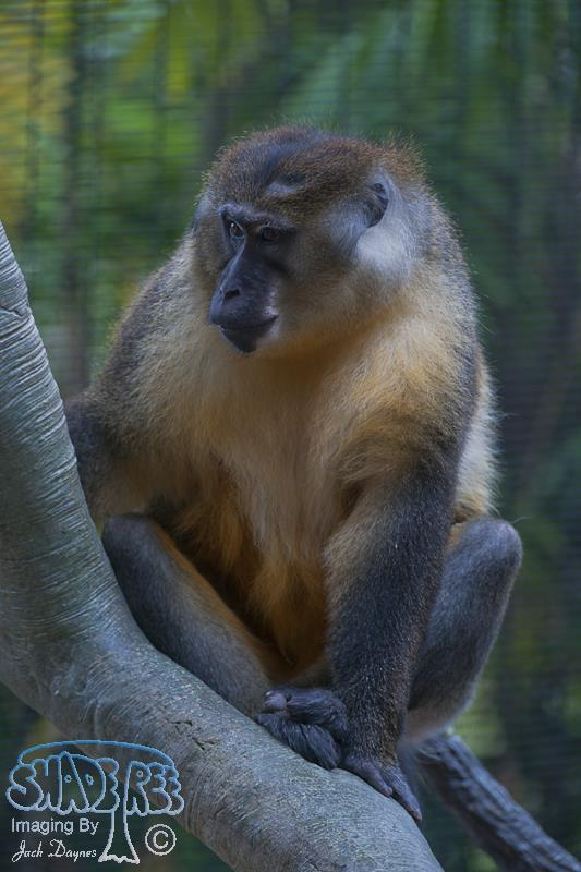 Golden-Bellied Mangabey - Cercocebus chrysogaster