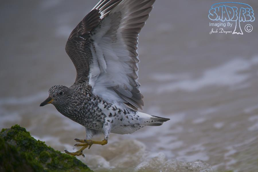 SurfBird - Aphriza virgata