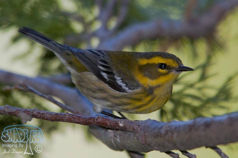 Townsend's Warbler - Dendroica townsendi