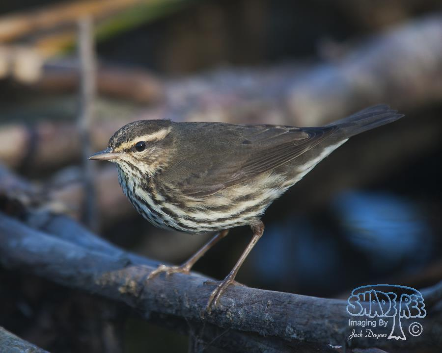 Northern Waterthrush - Parkesia noveboracensis