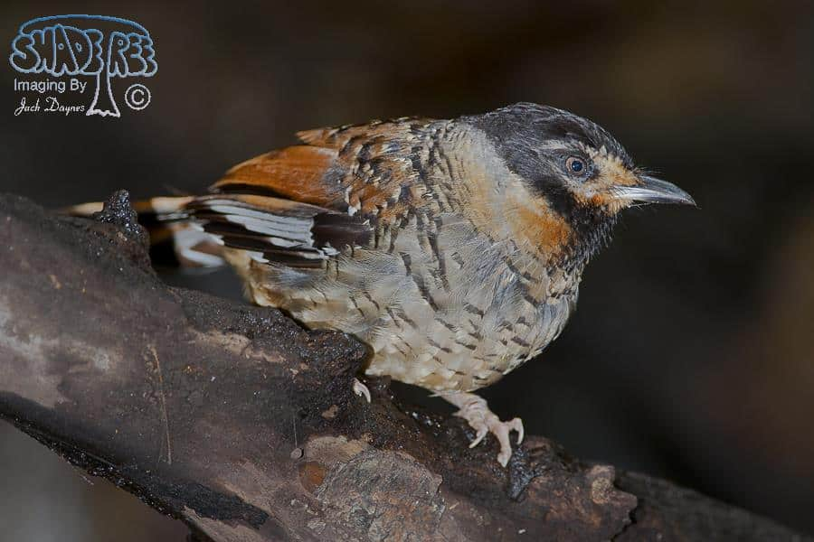 Spotted Laughingthrush - Garrulax ocellatus