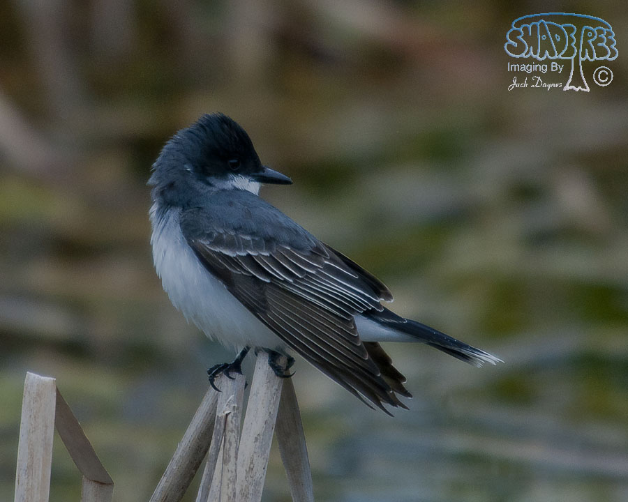 Eastern Kingbird - Empidonax wrightii