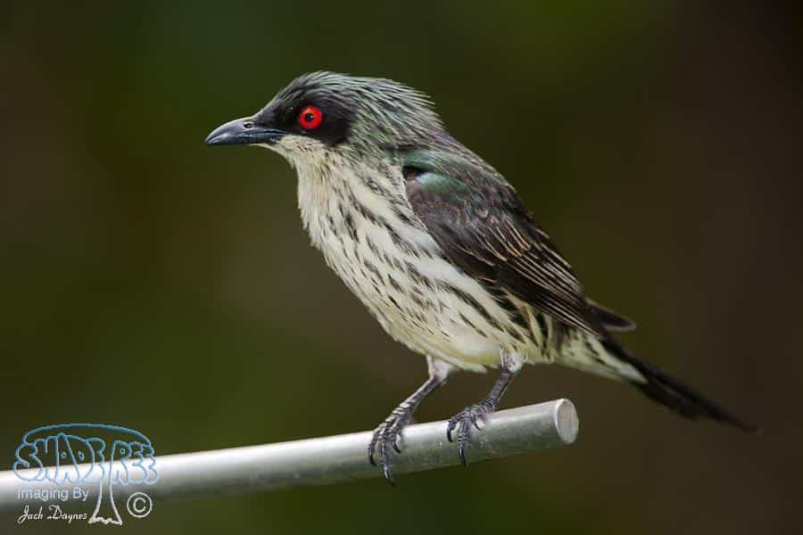 Metallic Starling - Aplonis metallica