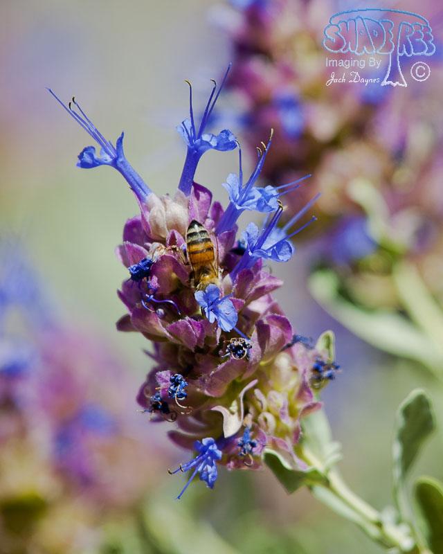 Purple Desert Sage - Salvia dorrii
