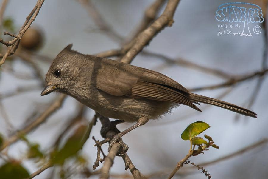 Oak Titmouse - Baeolophus inornatus